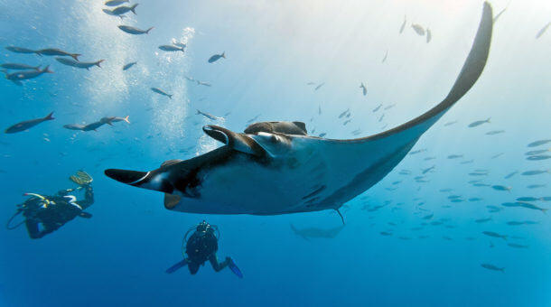 Manta Ray - Diving Hin Daeng in Thailand