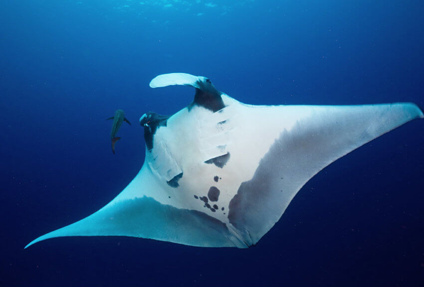 Manta Ray seen in Thailand