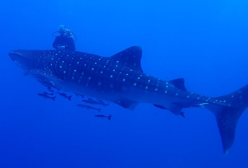 Whale Shark Diving Similan