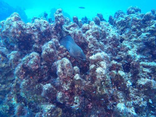 Giant Moray in Coral Block