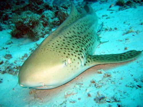 Leopard Shark - Liveaboard Diving Phuket