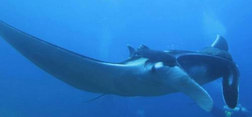 Manta Ray - Liveaboard Diving Phuket