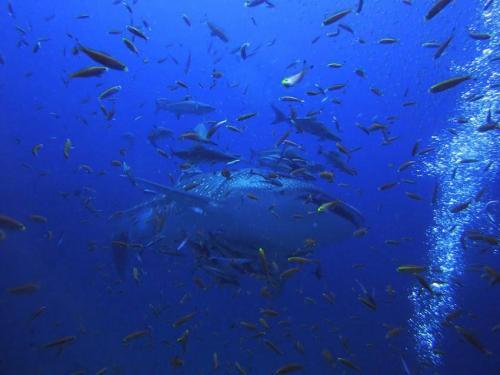 Whale Shark - Phuket Liveaboard Diving
