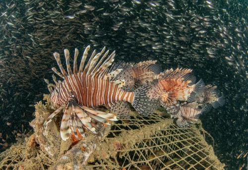 Lion Fish at Similan Islands Thailand