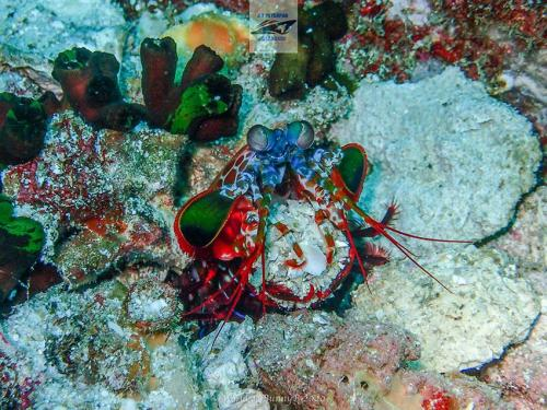 Mantis Shrimp in Thailand