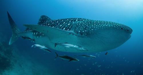Whaleshark Diving in Thailand