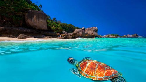Turtle at Similan Islands