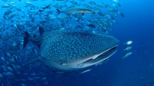 Whale Shark in Thailand